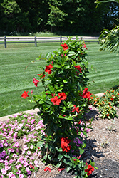 Sun Parasol® Pretty Crimson Mandevilla (Mandevilla 'Sun Parasol Pretty Crimson') at All Seasons Nursery