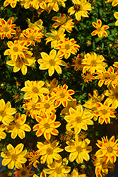 Beedance® Red Stripe Bidens (Bidens 'Beedance Red Stripe') at All Seasons Nursery