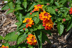 Lucky™ Red Lantana (Lantana camara 'Lucky Red') at All Seasons Nursery