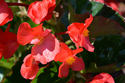 Megawatt™ Red Green Leaf Begonia (Begonia 'Megawatt Red Green Leaf') at All Seasons Nursery