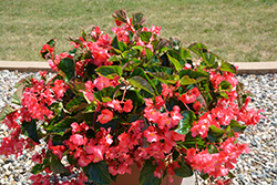 Megawatt™ Rose Green Leaf Begonia (Begonia 'Megawatt Rose Green Leaf') at All Seasons Nursery