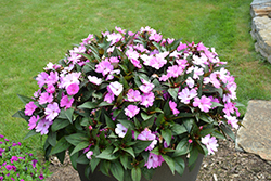 SunPatiens® Compact Orchid New Guinea Impatiens (Impatiens 'SAKIMP041') at All Seasons Nursery