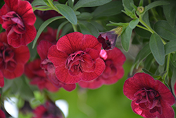 Superbells® Double Ruby Calibrachoa (Calibrachoa 'USCAL83901') at All Seasons Nursery
