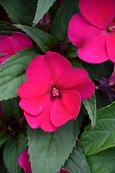 SunPatiens® Compact Magenta New Guinea Impatiens (Impatiens 'SAKIMP016') at All Seasons Nursery
