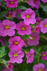 Superbells® Pink Calibrachoa (Calibrachoa 'Superbells Pink') at All Seasons Nursery