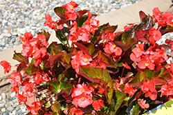 Megawatt™ Red Bronze Leaf Begonia (Begonia 'Megawatt Red Bronze Leaf') at All Seasons Nursery