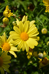 Golden Butterfly™ Marguerite Daisy (Argyranthemum frutescens 'G15101') at All Seasons Nursery
