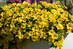 Conga™ Deep Yellow Calibrachoa (Calibrachoa 'Balcongdel') at All Seasons Nursery