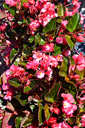 Megawatt™ Rose Bronze Leaf Begonia (Begonia 'Megawatt Rose Bronze Leaf') at All Seasons Nursery