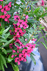 Archangel™ Cherry Red Angelonia (Angelonia angustifolia 'Balarcher') at All Seasons Nursery