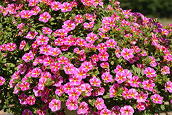 Superbells® Rising Star™ Calibrachoa (Calibrachoa 'KLECA16006') at All Seasons Nursery