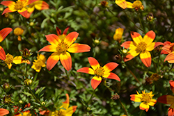 Beedance® Painted Red Bidens (Bidens 'Beedance Painted Red') at All Seasons Nursery