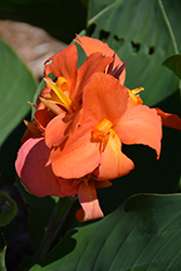 Cannova® Orange Shades Canna (Canna 'Cannova Orange Shades') at All Seasons Nursery