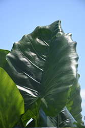 Borneo Giant Elephant's Ear (Alocasia macrorrhizos 'Borneo Giant') at All Seasons Nursery