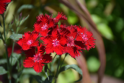 Rockin'™ Red Pinks (Dianthus 'PAS1141436') at All Seasons Nursery