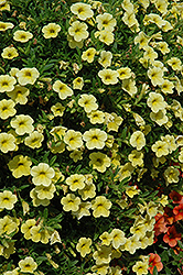 Cabaret® Yellow Calibrachoa (Calibrachoa 'Cabaret Yellow') at All Seasons Nursery