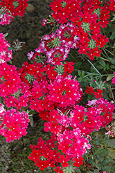 Lanai® Twister™ Red Verbena (Verbena 'Lanai Twister Red') at All Seasons Nursery