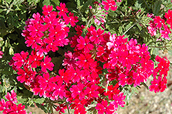 Lanai® Upright Magenta Verbena (Verbena 'Lanai Upright Magenta') at All Seasons Nursery