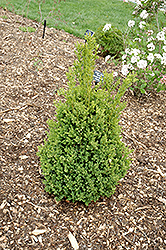 Green Mountain Boxwood (Buxus 'Green Mountain') at All Seasons Nursery