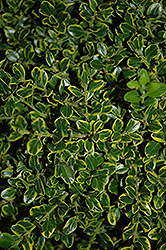 Golden Triumph Boxwood (Buxus microphylla 'Golden Triumph') at All Seasons Nursery