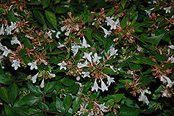 Bronze Anniversary™ Abelia (Abelia x grandiflora 'Rika1') at All Seasons Nursery