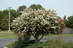Acoma Crapemyrtle (Lagerstroemia 'Acoma') at All Seasons Nursery