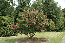 Tonto Crapemyrtle (Lagerstroemia 'Tonto') at All Seasons Nursery