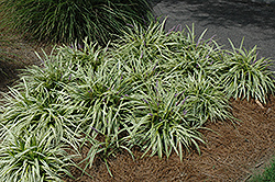Variegata Lily Turf (Liriope muscari 'Variegata') at All Seasons Nursery