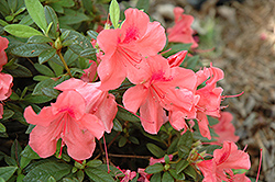 Encore® Autumn Coral™ Azalea (Rhododendron 'Conled') at All Seasons Nursery