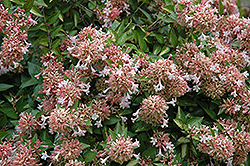 Canyon Creek Abelia (Abelia x grandiflora 'Canyon Creek') at All Seasons Nursery