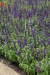 Victoria Blue Salvia (Salvia farinacea 'Victoria Blue') at All Seasons Nursery