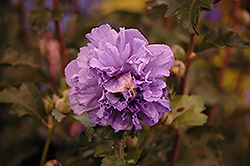 Blueberry Smoothie™ Rose of Sharon (Hibiscus syriacus 'DS01BS') at All Seasons Nursery