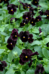 Sorbet® Black Delight Pansy (Viola 'Sorbet Black Delight') at All Seasons Nursery