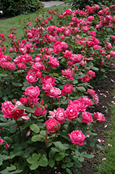 Double Knock Out® Rose (Rosa 'Radtko') at All Seasons Nursery