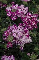 Lanai® Purple Star Verbena (Verbena 'Lanai Purple Star') at All Seasons Nursery