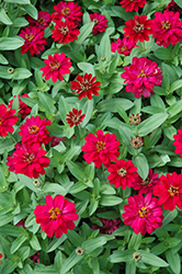 Profusion Double Hot Cherry Zinnia (Zinnia 'Profusion Double Hot Cherry') at All Seasons Nursery