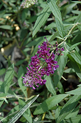 Buzz™ Midnight Butterfly Bush (Buddleia davidii 'Buzz Midnight') at All Seasons Nursery