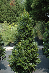 Oak Leaf™ Holly (Ilex 'Conaf') at All Seasons Nursery