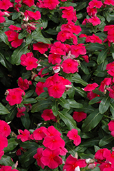 Valiant Punch Vinca (Catharanthus roseus 'Valiant Punch') at All Seasons Nursery