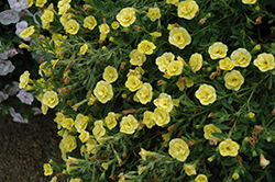 MiniFamous® Double Compact Lemon Calibrachoa (Calibrachoa 'MiniFamous Double Compact Lemon') at All Seasons Nursery