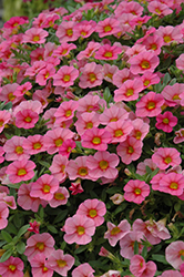 MiniFamous® Compact Salmon Red Eye Calibrachoa (Calibrachoa 'MiniFamous Compact Salmon Red Eye') at All Seasons Nursery