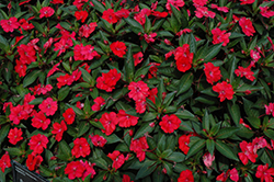SunPatiens® Spreading Scarlet Red New Guinea Impatiens (Impatiens 'SunPatiens Spreading Scarlet Red') at All Seasons Nursery