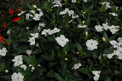 SunPatiens® Spreading Clear White New Guinea Impatiens (Impatiens 'SunPatiens Spreading Clear White') at All Seasons Nursery