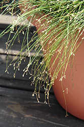 Live Wire Fiber Optic Grass (Isolepis cernua 'Live Wire') at All Seasons Nursery