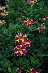 Superbells® Holy Moly! Calibrachoa (Calibrachoa 'Superbells Holy Moly!') at All Seasons Nursery