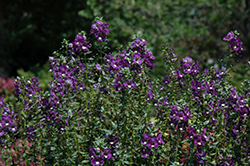 Alonia Big Indigo Angelonia (Angelonia angustifolia 'Alonia Big Indigo') at All Seasons Nursery