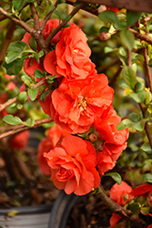 Orange Storm Quince (Chaenomeles speciosa 'Double Take Orange Storm') at All Seasons Nursery