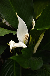 Peace Lily (Spathiphyllum wallisii) at All Seasons Nursery