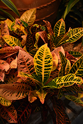 Petra Variegated Croton (Codiaeum variegatum 'Petra') at All Seasons Nursery