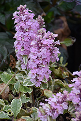 Pink Lightning Bugleweed (Ajuga reptans 'Pink Lightning') at All Seasons Nursery